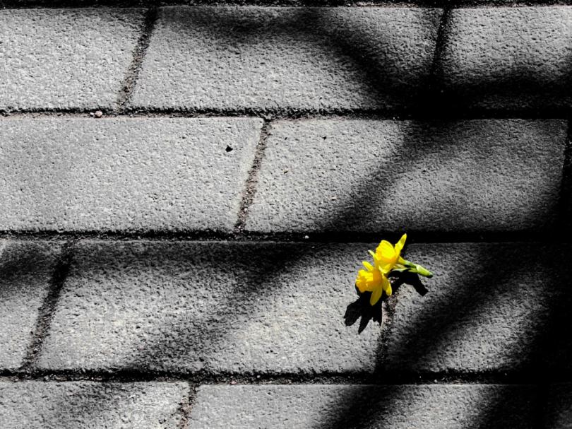 Keltainen kukka asfaltilla